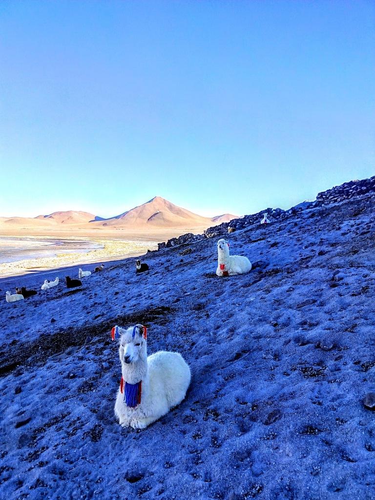 Llamas en el altiplano boliviano.
